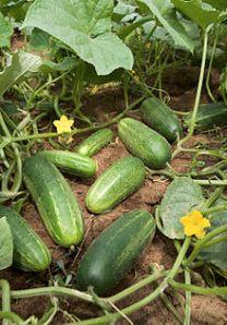 220px-ARS_cucumber